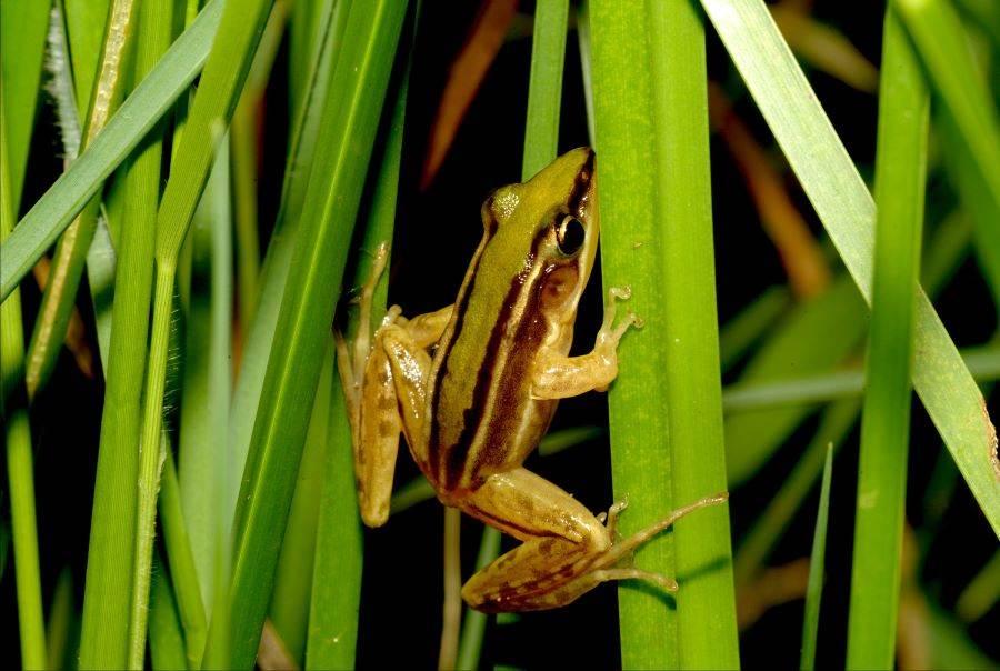 石門雷公蛙。(圖取自新北市農業局官網)
