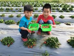 假日親子何處去 柳營太康有機農場採草莓