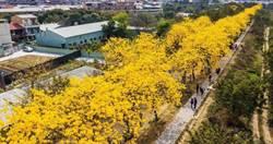 5年來最美「黃金隧道」 朴子溪堤防黃花風鈴木綿延一公里