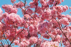 洋紅風鈴木盛開 彰市打造花都