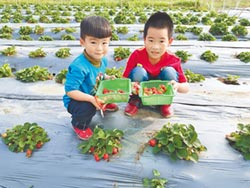 柳營太康農場 採草莓嗑養生鍋