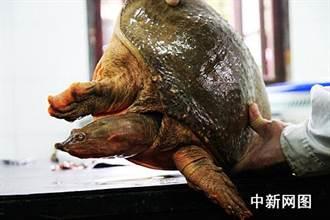 陸農業農村部:中華鱉、烏龜不列入禁食名錄