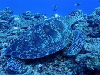 中山大學南海研究 太平島發現200隻海龜