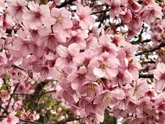 今年日本賞櫻限制多多