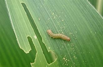 蝗蟲未到 規模90倍秋行軍蟲已入侵華南