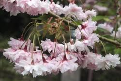 阿里山櫻花全台最多40種品種 2月至4月最佳賞櫻勝地