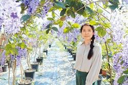 錫葉藤紫花瀑布 遊客調頭狂拍