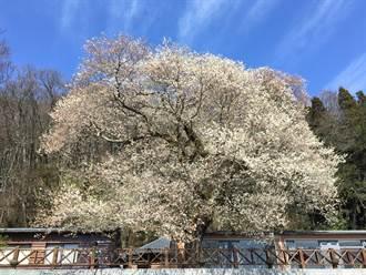 霧社櫻王開花了 雪白花瓣如下雪
