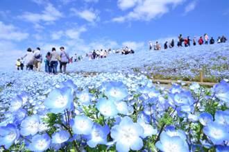 春遊茨城賞花!萬朵粉蝶花映照藍空、大佛與芝櫻交織