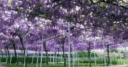 紫藤咖啡園宣布花期 3月底4月初紫藤瀑布美度爆表