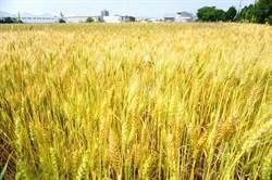 大雅小麥節因疫停辦  1.6公頃麥浪依舊吸客