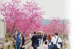 泰安櫻花盛開 花期倒數10天