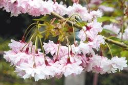 40種櫻花迎賓 阿里山花季3月10日登場