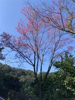 基隆》龍門谷櫻花秘境 踏青賞花吸新鮮空氣