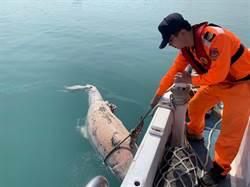 台中港驚見鯨豚浮屍 海巡救生艇拖上岸