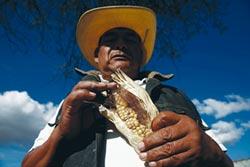 墨西哥玉米變少了