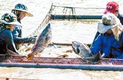 冷凍應變 另拓市場 石斑魚找活路