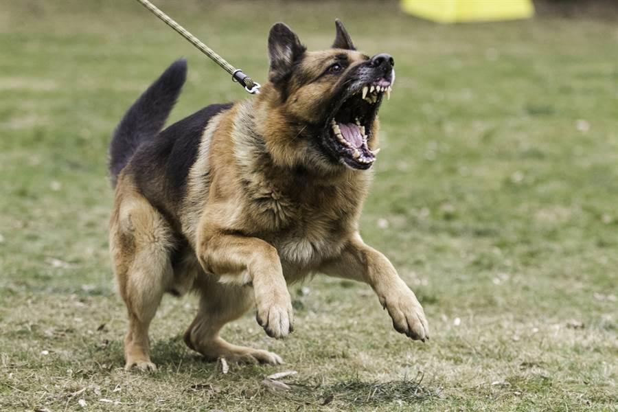 女飼主無故遭愛犬攻擊啃咬險喪命,最後狗狗也遭撲殺。(示意圖/ 取自達志影像)
