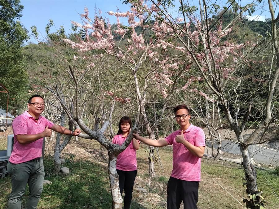 高雄市美濃區「蝶舞澗」,種植了1000多棵花旗木,是全台最大花旗木農場,每到3、4月份開花期,就吸引許多賞花民眾前往賞花。(林雅惠攝)