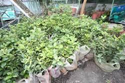 植樹做環保 大溪區公所11日起3天每日贈500樹苗