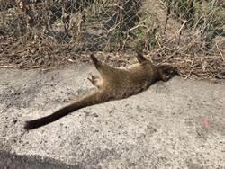 彰化民眾家門發現鼬獾屍體 死因待釐清