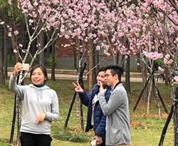 金大櫻花盛開  校園浪漫燦爛
