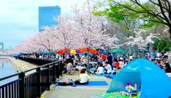 日國營公園不讓賞櫻客在樹下飲酒作樂
