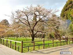 阿里山櫻花季開跑 「櫻王」預計下周後盛開
