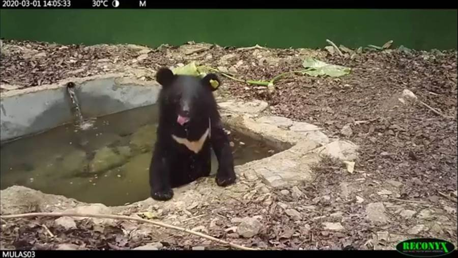 小熊玩水畫面曝光。(翻攝照片/楊漢聲台東傳真)