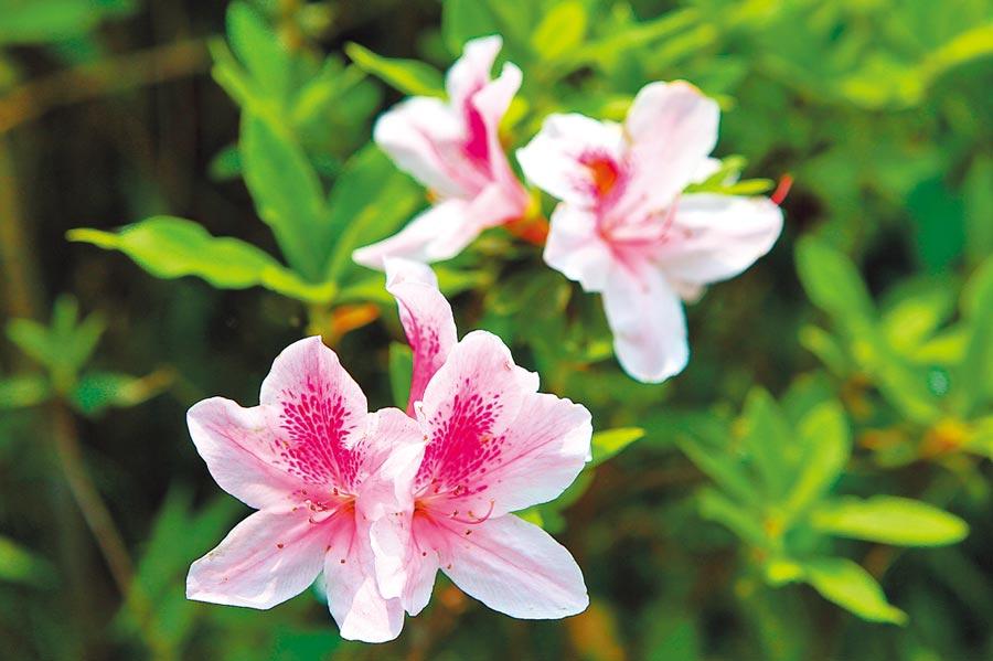 杜鵑花不僅是台灣大學校花,也是台北市市花。(張立勳攝)