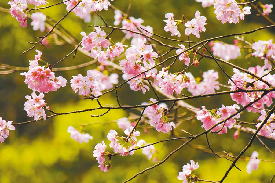園內處處可見吉野櫻粉紅花瓣點綴園區,臻愛花園、枯木印象之美、仙鶴池、心型花園、萬年橋也重新規畫設計,花團錦簇、美不勝收。(雲仙樂園提供/葉書宏新北傳真)