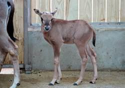 羚羊寶寶將滿月!量體重時 媽咪一旁守護好溫馨