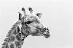 全球僅剩1隻了!白長頸鹿母子被殺見骨