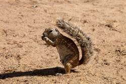 松鼠勇戰眼鏡蛇護子 驚險畫面曝光