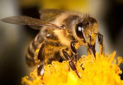 目睹蜜蜂大便!排泄過程網全看傻