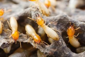 動物會放屁嗎?白蟻排放量好驚人