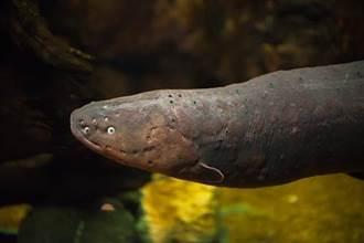 食人魚餓10天大戰電鰻 水中霸主是牠