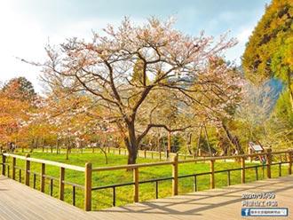 阿里山花季開鑼 櫻王下周滿開