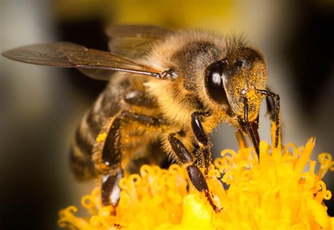 目睹蜜蜂大便!排泄過程網全看傻(圖片取自/達志影像)