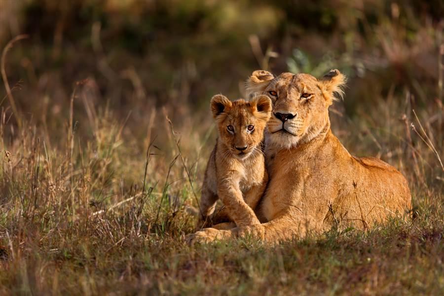 幼花豹被母獅叼走以為沒命 1個月後專家驚呼(示意圖/達志影像)