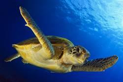 觀光客攻陷澎湖!海龜被割開慘死  網痛批:好一個報復消費