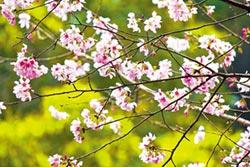 雲仙樂園賞櫻趣 防疫森呼吸 友善好時光
