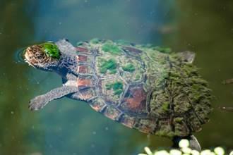 捕捉烏龜頭上長頭髮 男一看秒報警