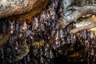義大利華人疑曬蝙蝠乾 全市區暴動