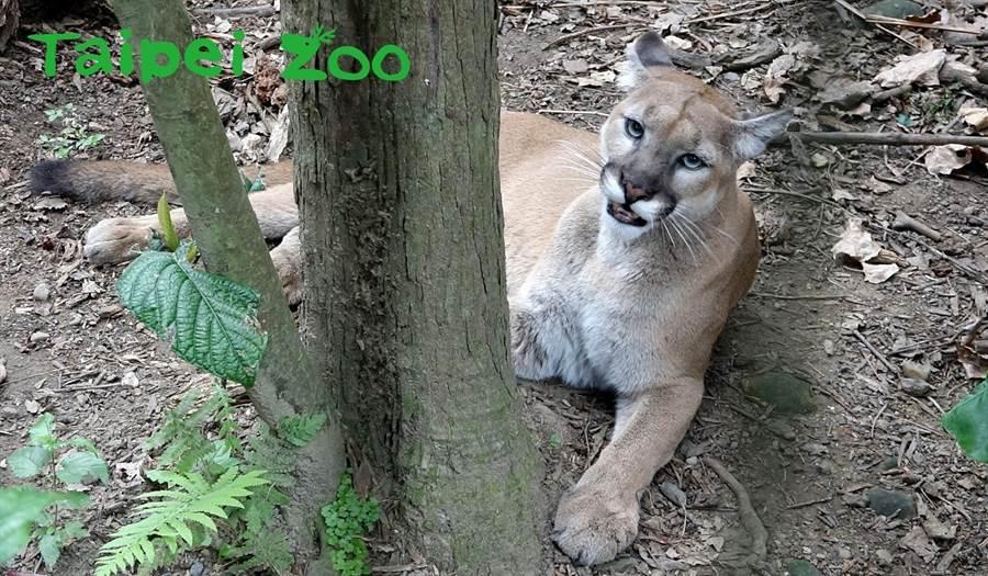 近日山獅們常趴在地上嚎叫不停,其實是雌性山獅們發情徵兆(喵喵)。(台北市立動物園提供)