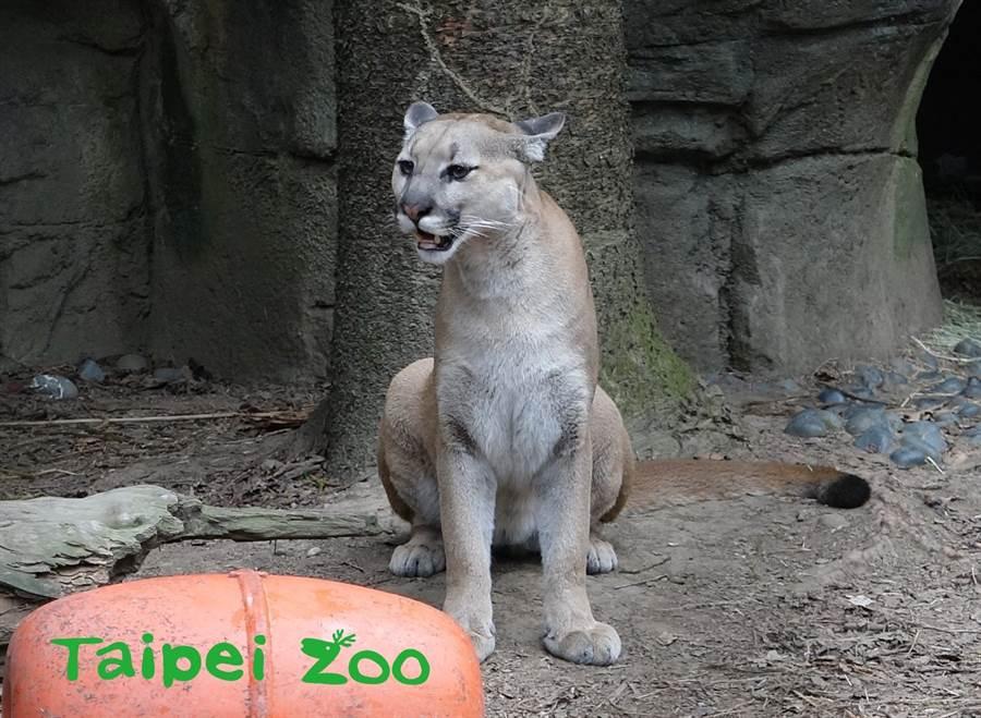 雌山獅發情時會不停的發出嘶吼聲(喵妃)。(台北市立動物園提供)