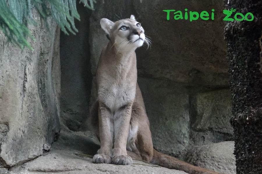 雌山獅開始發情的時間,大約在每年冬末初春之際(喵糖)。(台北市立動物園提供)