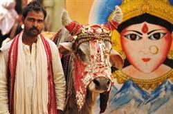 印度人奉牛為聖物 上億頭牛難處理