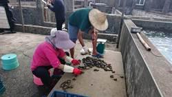 疫情衝擊貢寮鮑 新北建議大陸鮑禁口期間延長至5月