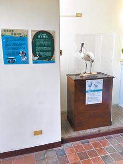 黑面琵鷺標本 永存花蓮水培所